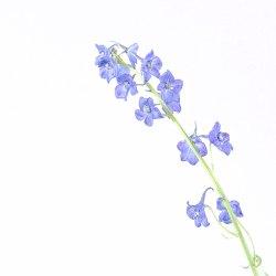 4-DSC7192 paarse trompet bloemen
